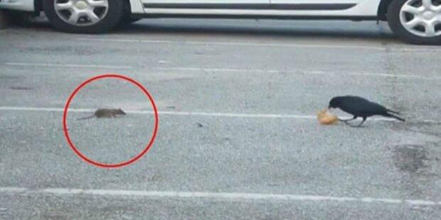 Chytrá vrána se s hladovou myší podělila o kousek chleba: svědci příhodu natočili na video