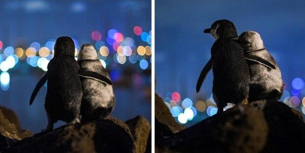 Dva vdovci tučňáci chytají západ slunce nad Melbournem