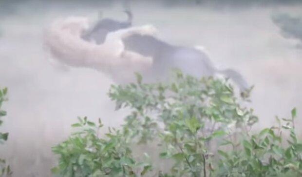 Pakůň bojuje se lvicemi: svědci natočili vzácné záběry na video